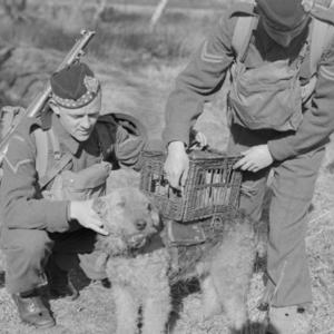 War dog in training, circa 1940