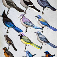 """from """"Peterson's Field Guide to Western Birds"""""""